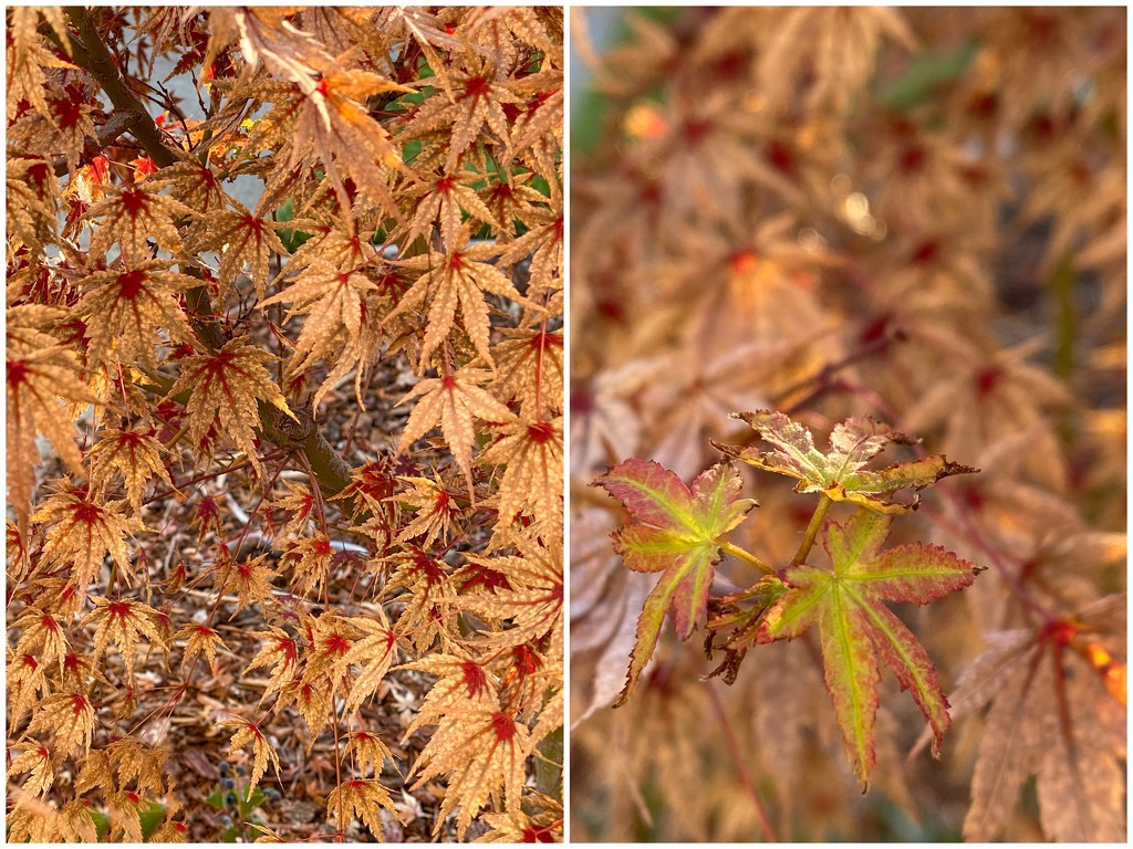 Japanese maple is confused by thedarkroom