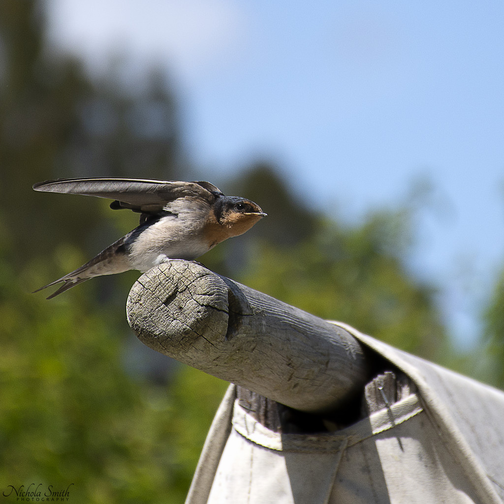 Fledgling Welcome Swallow by nickspicsnz