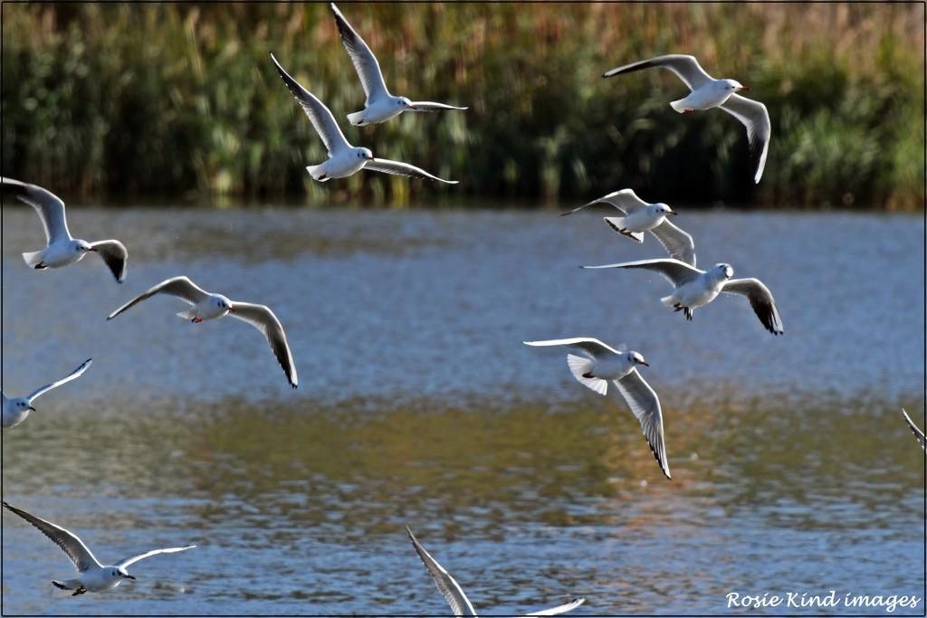 Flock of gulls by rosiekind