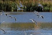 28th Nov 2020 - Flock of gulls