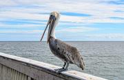 28th Nov 2020 - Do Pelicans Talk?