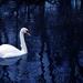 Nov 28th Swan