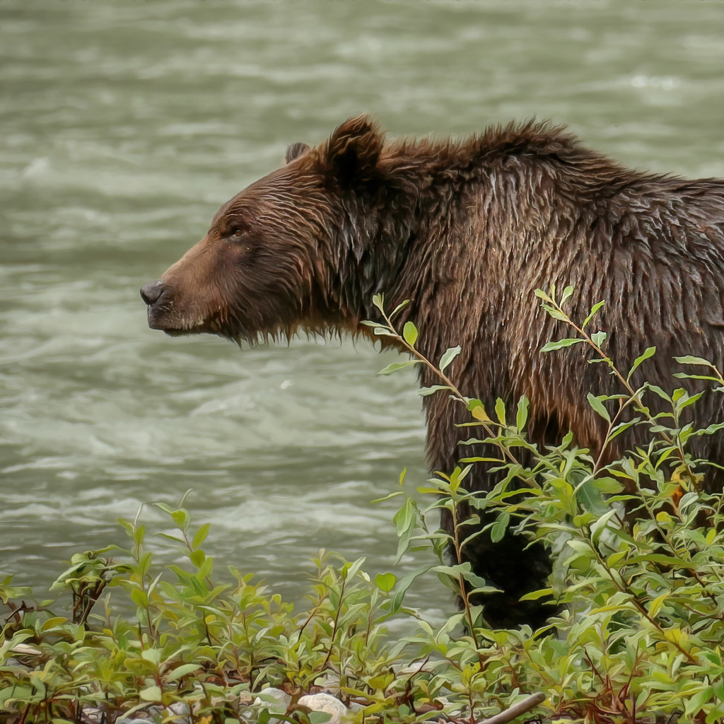 Grizzly Bear by shepherdmanswife
