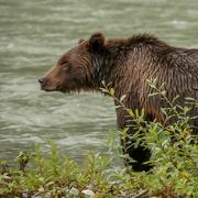 28th Nov 2020 - Grizzly Bear