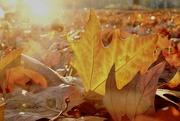 28th Nov 2020 - Les feuilles mortes (1)