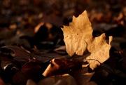 28th Nov 2020 - Les feuilles mortes (2)