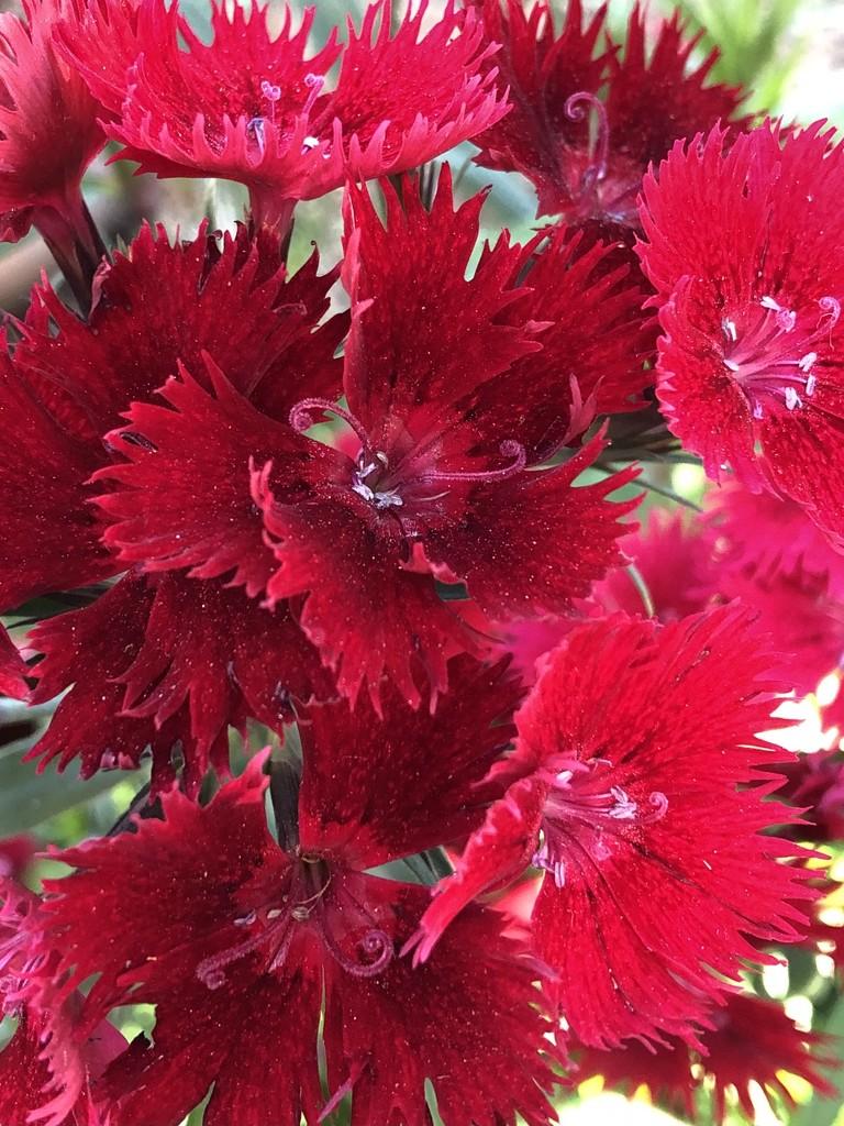 Dianthus by loweygrace