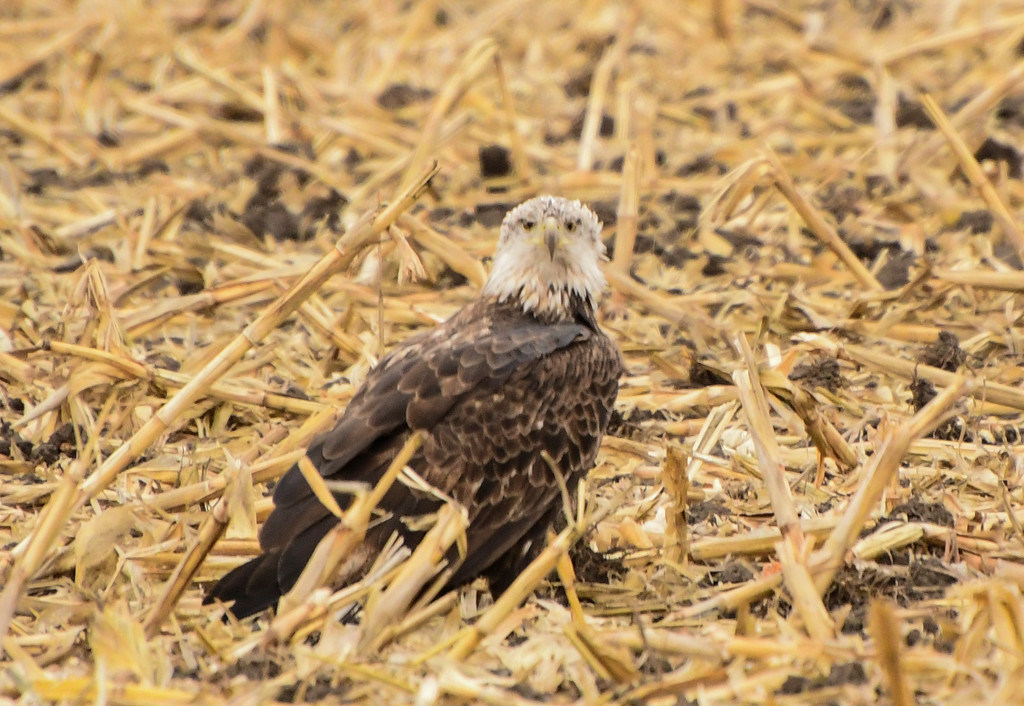 Young Eagle in an Old Cornfield by kareenking