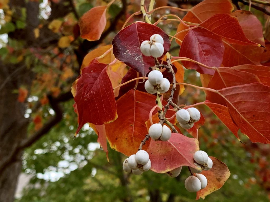 A Tallowtree on my walk  by louannwarren