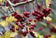 28th Nov 2020 - Hawthorn Berries