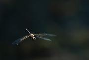 30th Nov 2020 - flight of the dragon