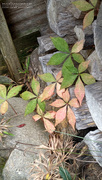 29th Nov 2020 - Painted creeper in the wood pile...