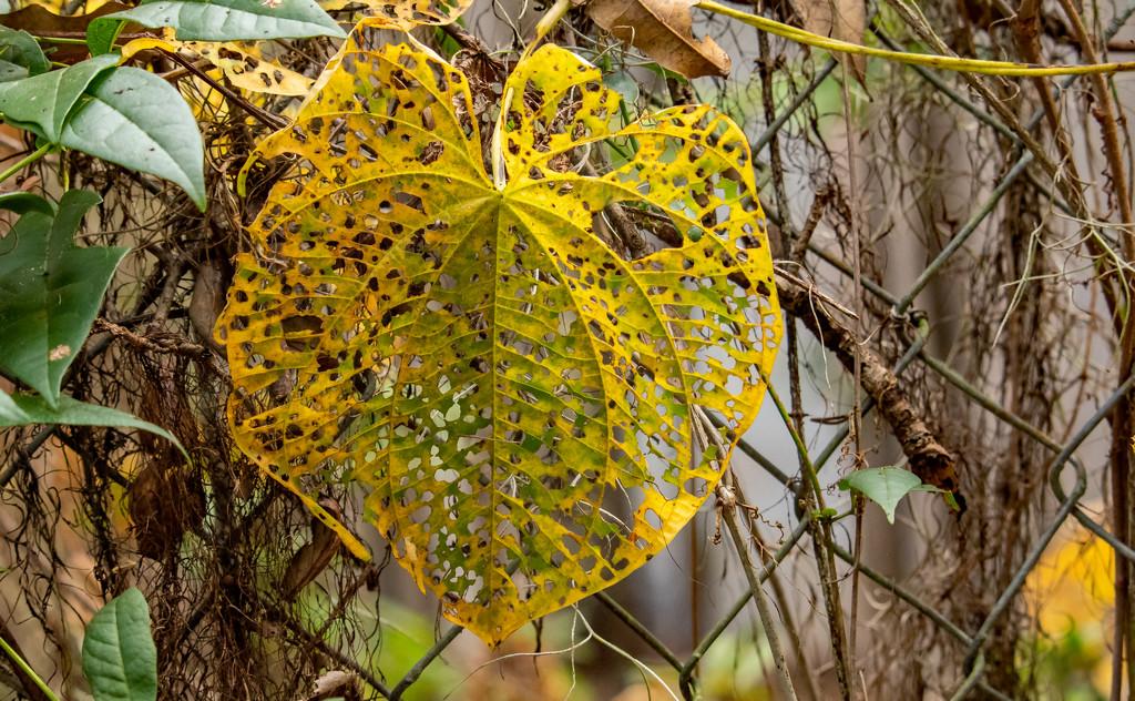 Bug Eaten Leaf! by rickster549