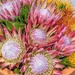 King Proteas and Pincushions