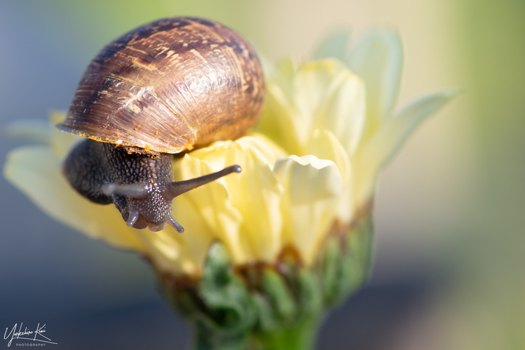 Snail by yorkshirekiwi