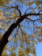 28th Nov 2020 - yellow leaves
