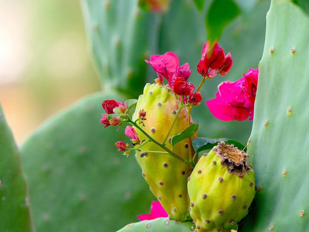 Cactus Fruit by redy4et