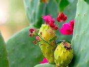 28th Nov 2020 - Cactus Fruit