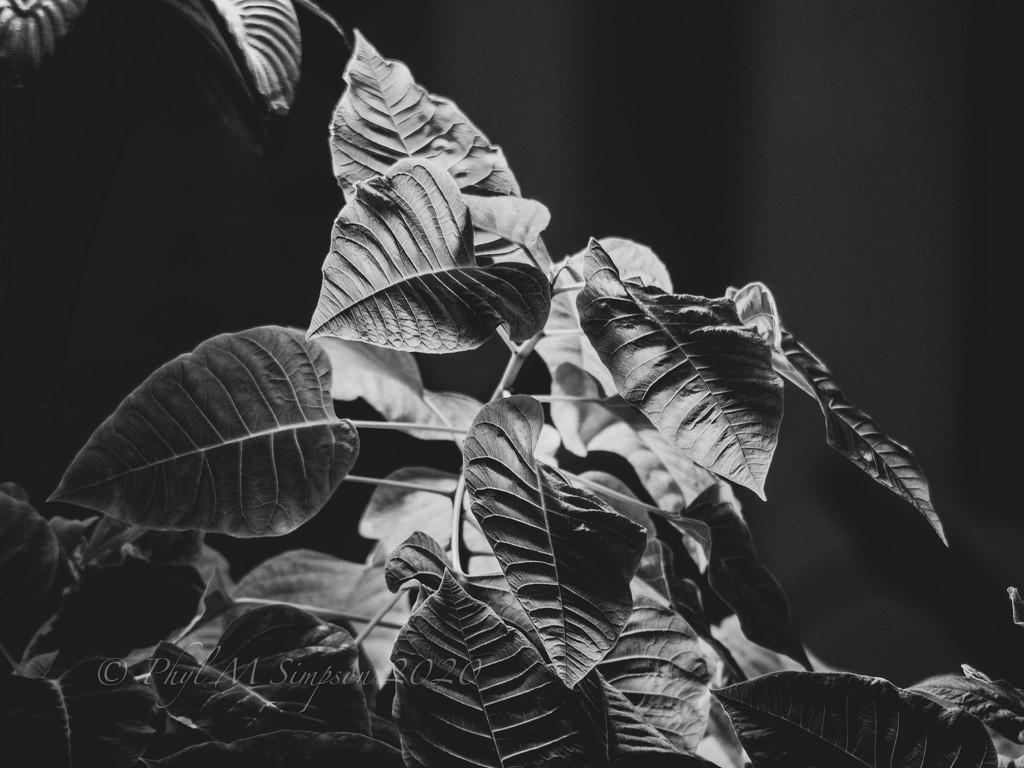 Poinsettia  by elatedpixie