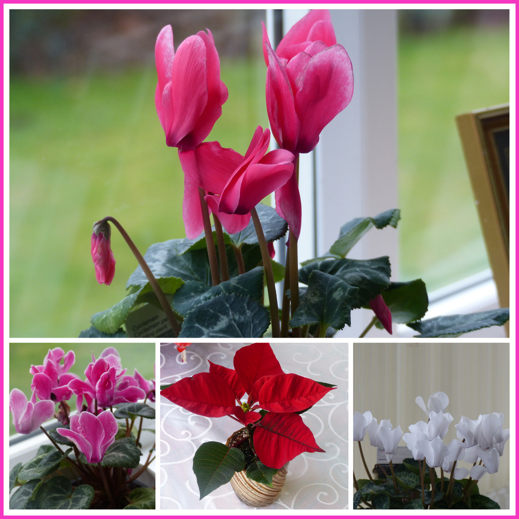 Cyclamen and Poinsettia  by foxes37