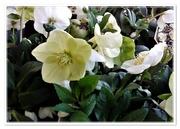 28th Nov 2020 - Christmas Roses - Hellebore