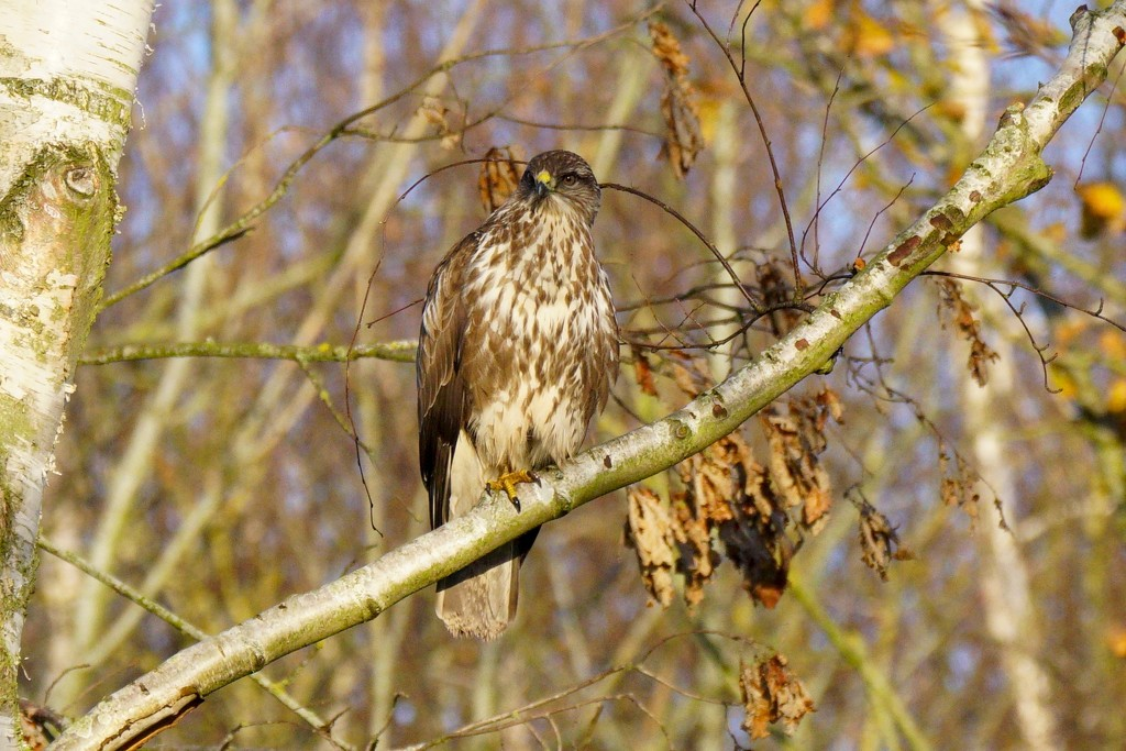 BUZZARD by markp