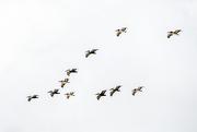 29th Nov 2020 - Pelican formation