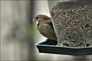 29th Nov 2020 - Greenfinch
