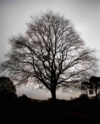 29th Nov 2020 - Skeleton tree