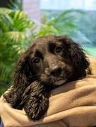29th Nov 2020 - Nothing like a warm blanket after a muddy walk! Post-wash!