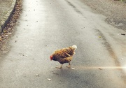 28th Nov 2020 - Why did the chicken cross the road?