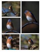 29th Nov 2020 - The Bluebirds are back!