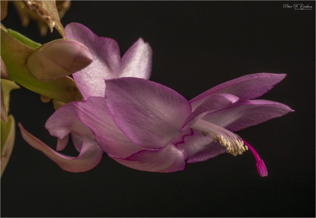 Pink Christmas Cactus by pcoulson