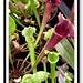 Sarracenia Smooii -  Trumpet Pitcher Plant