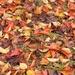 Kwanzan cherry leaf clutter...