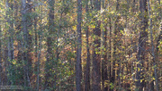 30th Nov 2020 - Painted autumn woods...