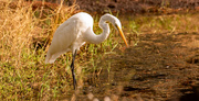 29th Nov 2020 - Egret On the Prowl!
