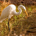 Egret On the Prowl!