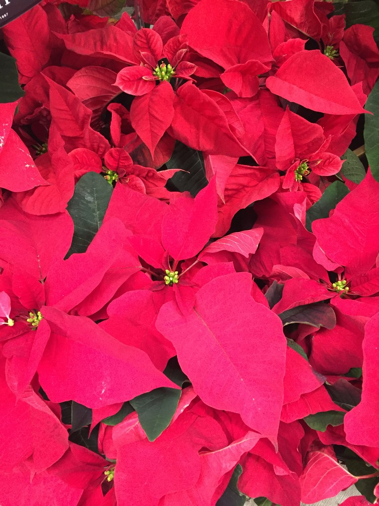 Poinsettia  by kchuk