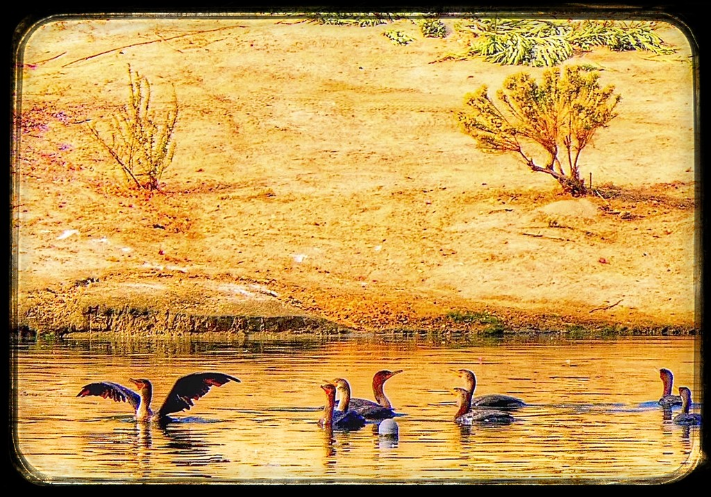 Double-Crested Cormorants by redy4et
