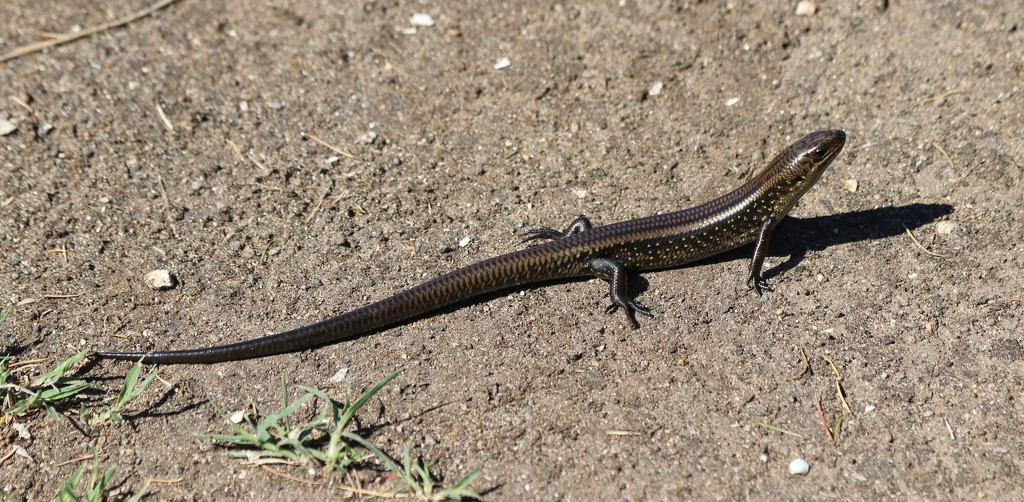 Drop tail lizard by gilbertwood