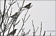 30th Nov 2020 - My first redwings