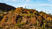 30th Nov 2020 - Saguaro Cactus