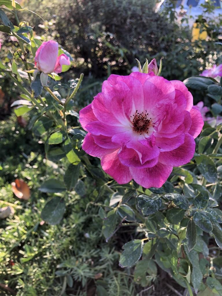 Wild Rose by loweygrace
