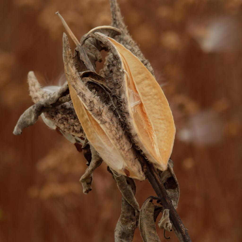 milkweed pods by rminer