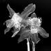 Daffodil b&w by francesc