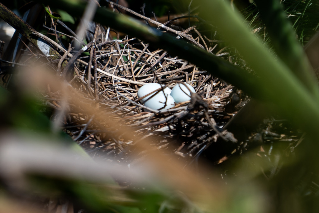 Cattle egret nest and eggs by sugarmuser