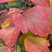 Painted spirea leaves...