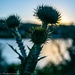 "Nov word: Start with ""T""    Thistle"