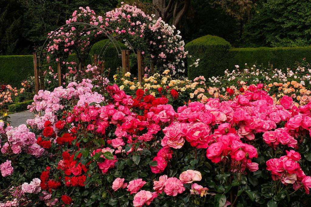 Rose garden by maureenpp